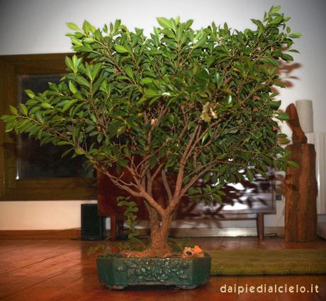 bonsai di ficus